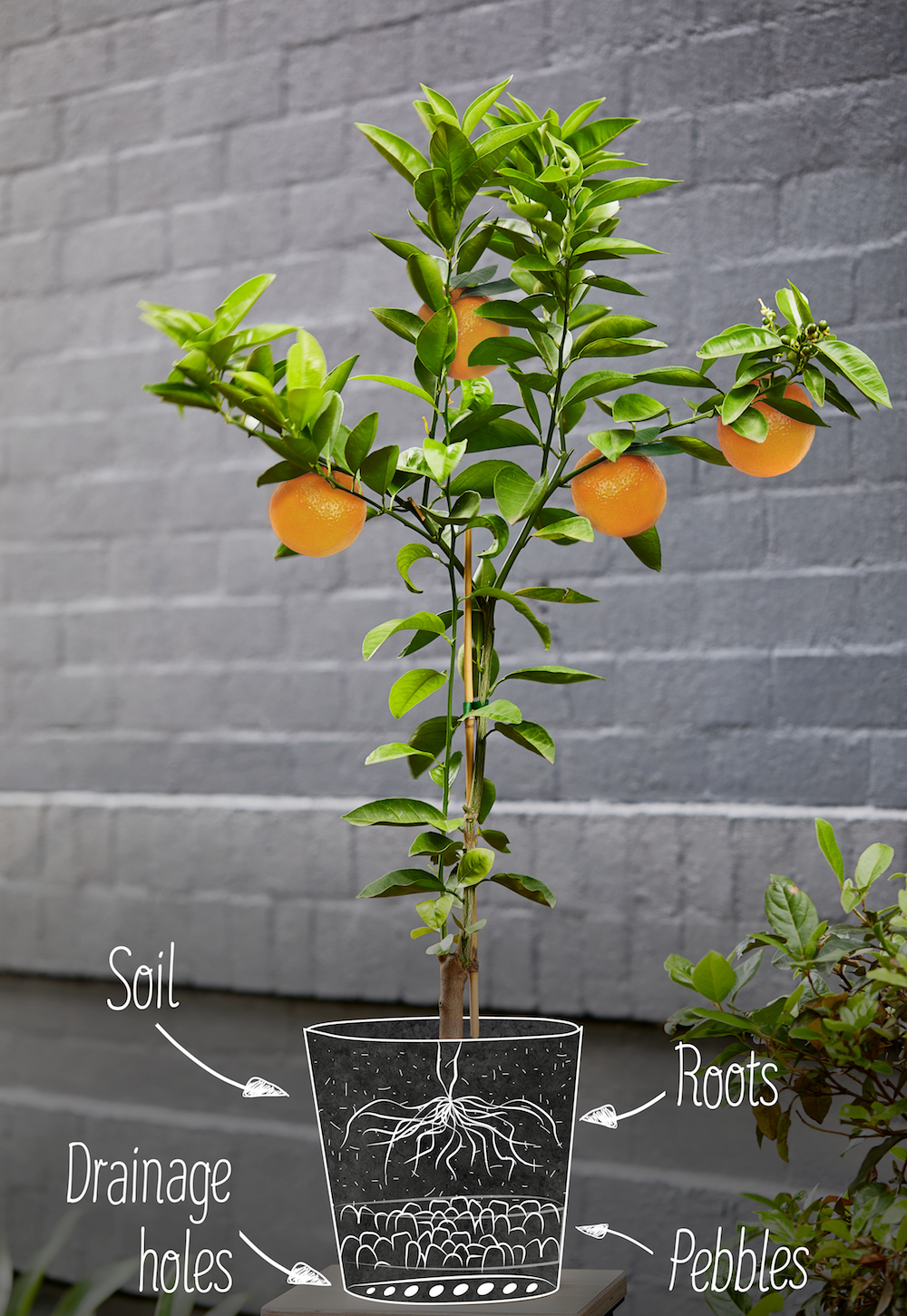 Complete Guide To Growing Citrus Trees At Home Lemon